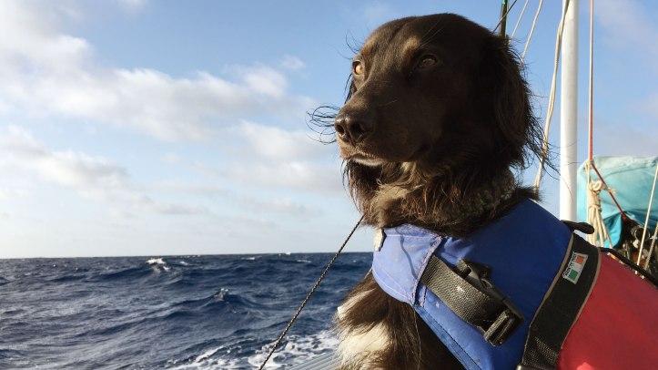 sailing-flatcoat