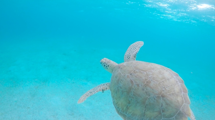 tortuga3_gopro_tobagocays_cythere
