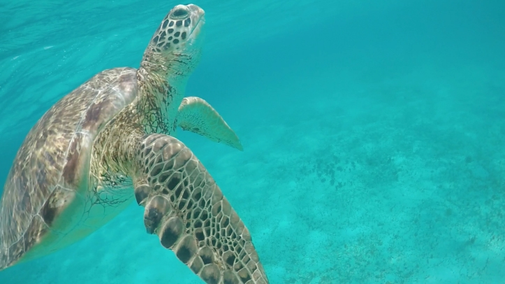 tortuga_tobagocays_casisuperficie_cythere