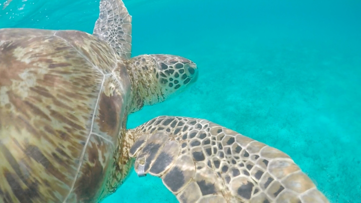 tortuga_tobagocays_cythere_gopro