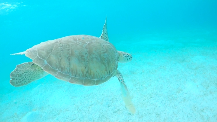 tortuga_vuelo_tobago_cays_cythere